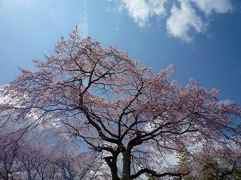 佐野藤右衛門桜