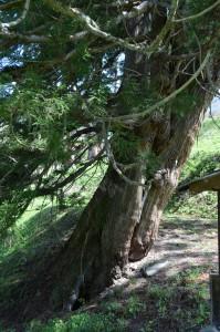 臥雲の三本杉