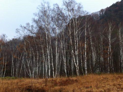 一之瀬園地付近の白樺